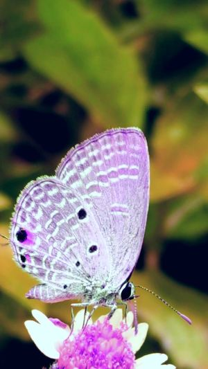 Flower One Animal Animals In The Wild Purple Animal Themes Freshness Close-up Vibrant Color Wildlife Butterfly Focus On Foreground Fragility Insect Beauty In Nature Nature Petal Perching Purple Color Day Symbiotic Relationship Buterfly 🌺🌺🌺 Outdoors Butterflies Beauty In Nature Macro Insects