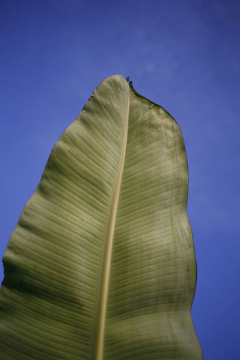No People Close-up Blue Low Angle View Nature Leaf Green Color Banana Leaf Day Clear Sky Sky Plant Part Plant Still Life Freshness Beauty In Nature Outdoors Colored Background Vulnerability  Fragility Leaves Blue Background Floral Pattern Floral Pattern The Minimalist - 2019 EyeEm Awards