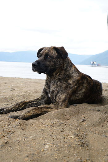 Close-up of dog relaxing on beach