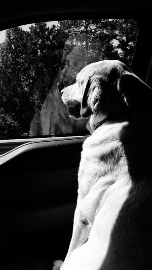 B&w B&W Collection Shadows & Lights Black And White Labrador Retriever LabradorRetriever Looking Through Window Truck Trucks Yellow Lab Dogs Of EyeEm Pets Dogs In Cars Enjoying The Sun