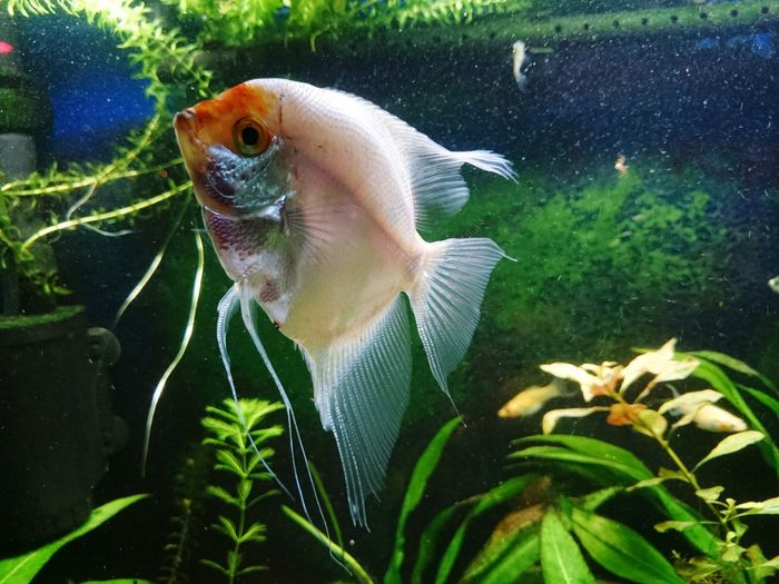 My angel fish... Angelfish Aquarium Aquarium Life Aquariumfish Aquariumlife Fish Fishtank Fishtanks