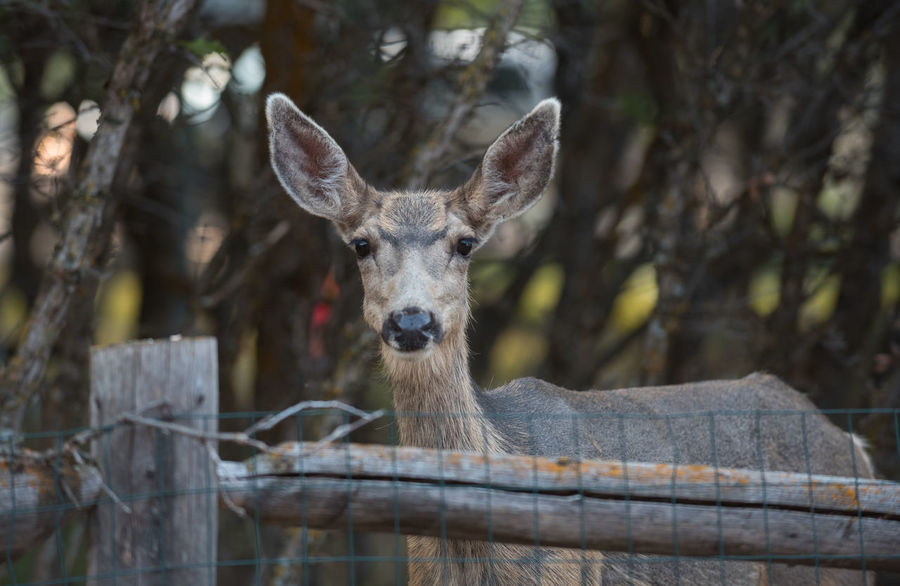 Deer looking right at the camera Deer Eye Contact Animal Themes Animal Wildlife Animals In The Wild Close-up Ears Looking At Camera Mule Deer No People One Animal Outdoors Portrait Wild