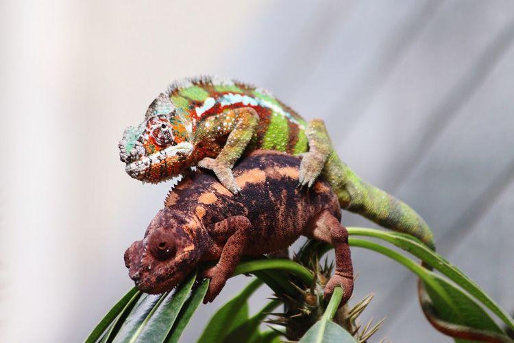 Close-up of chameleons mating on plant