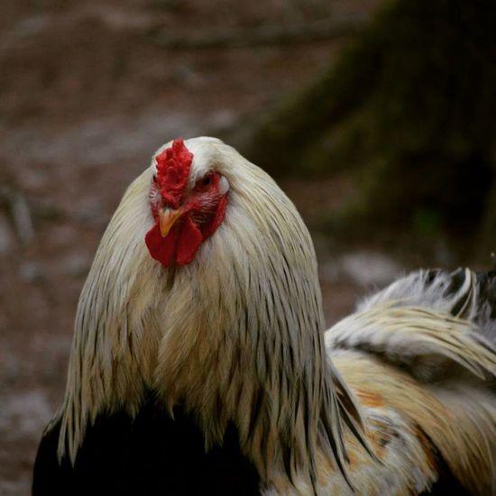 Hahn Cock Coq Makro macro bird vogel chicken rot hals natur nature naturelovers