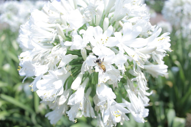 Animal Themes Animals In The Wild Beauty In Nature Bee Cdmx City Close-up Day Flower Flower Head Fragility Freshness Growth Insect Macro Macro Photography Natura Nature No People One Animal Outdoors Petal Pollination White Color