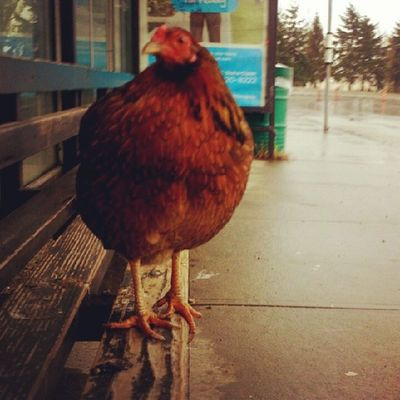 So why did the chicken take the bus? Translink @Translink RichmondBC Steveston stop number 58047