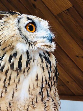 魅力 魅力的 瞳 睥睨 自然 神の子 神秘 芸術 光 静寂 モデル 猛禽類 フクロウ ベンガルワシミミズク Rock Eagle Owl Animal One Animal Animal Wildlife Animals In The Wild Owl No People Close-up Bird Day Nature Animal Head  Wood - Material