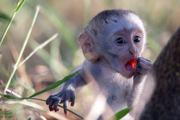 Portrait of monkey eating