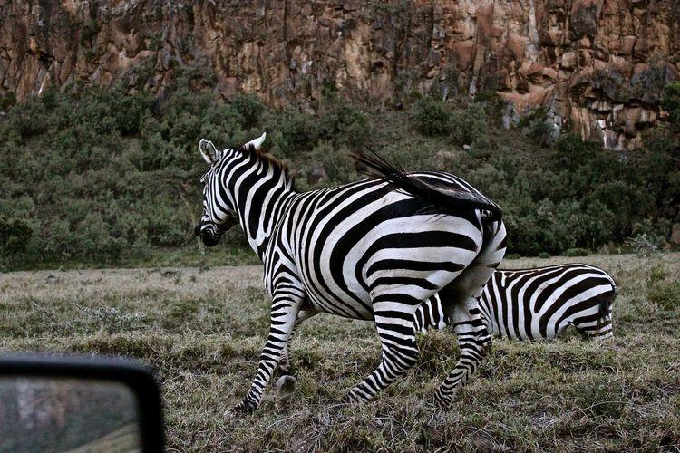 Side view of zebra standing on field