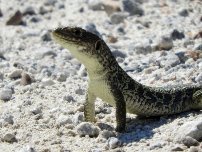 FAUNA IBERICA J.J.D.R. Lagarto Ocelado Aggression  Animal Animal Body Part Animal Head  Animal Scale Animal Themes Animal Wildlife Animals In The Wild Close-up Day Fauna Focus On Foreground Iguana Land Lizard Marine Mouth Open Nature No People One Animal Outdoors Reptile Rock Sand Solid Vertebrate