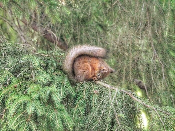 One Animal Animal Themes High Angle View Animals In The Wild Green Color Nature Animal Wildlife Day No People Nature Beauty In Nature EyeEm Selects Sleepy Field Grass Growth Mammal Outdoors Domestic Animals Pets Close-up Sleepy Squirrel