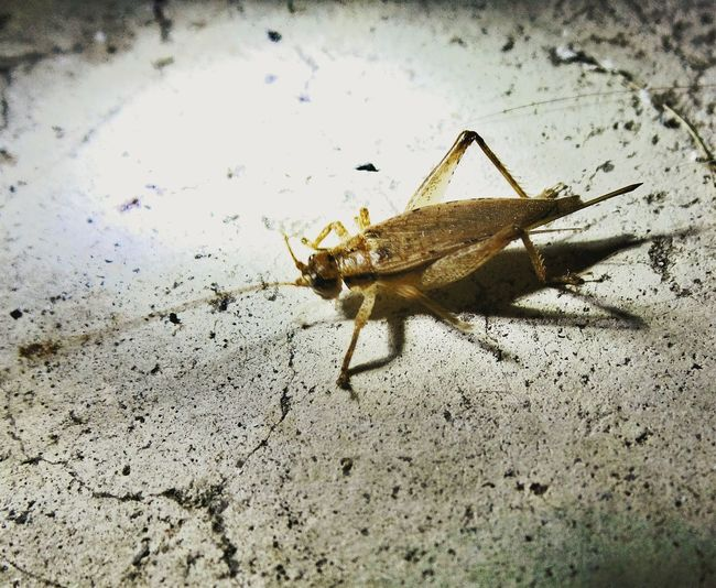 A cricket I spotted on my porch. I decided to use it to experiment with spotlighting. It's not so easy to hold a flashlight, & camera, plus chase a cricket around! Watching Cricket Check This Out Spotlighting In The Spotlight Spotlighting Insects Eyeem Insects EyeEm Gallery EyeEm Nature Lover Light And Shadow Taking Photos Overnight Success Macro Shadows Art In Everything Outdoors Close-up Insect Photography Cricket Insect Outdoor Photography Night Photography Beauty In Nature Light And Night Spotlight