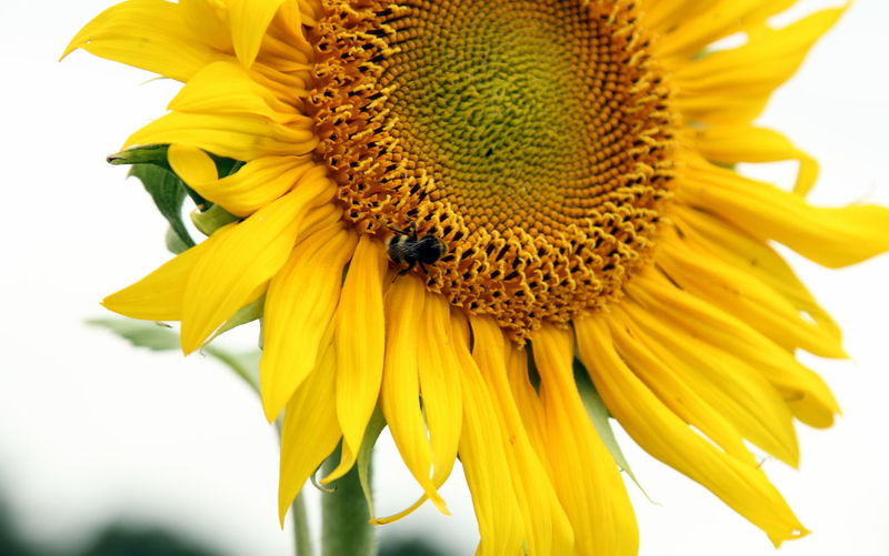 Close-up of bee pollinating sunflower