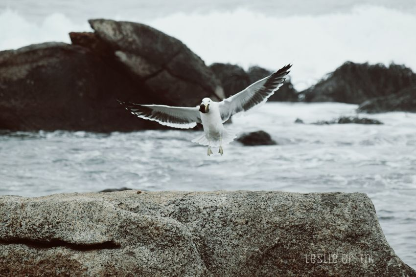 Animals Leslie_Gr_In Aves Elquisco Playa Mar Rocas Vuelo