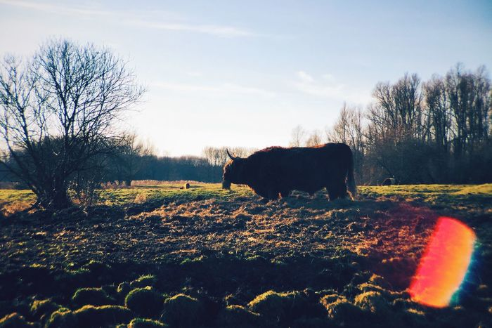 Good morning ox! Enjoy your dried grass. Cattle Walking Around Getting In Touch Lens Flare Natural Lens Flare EyeEm Nature Lover Beautiful Nature Cold Days Sunny Morning