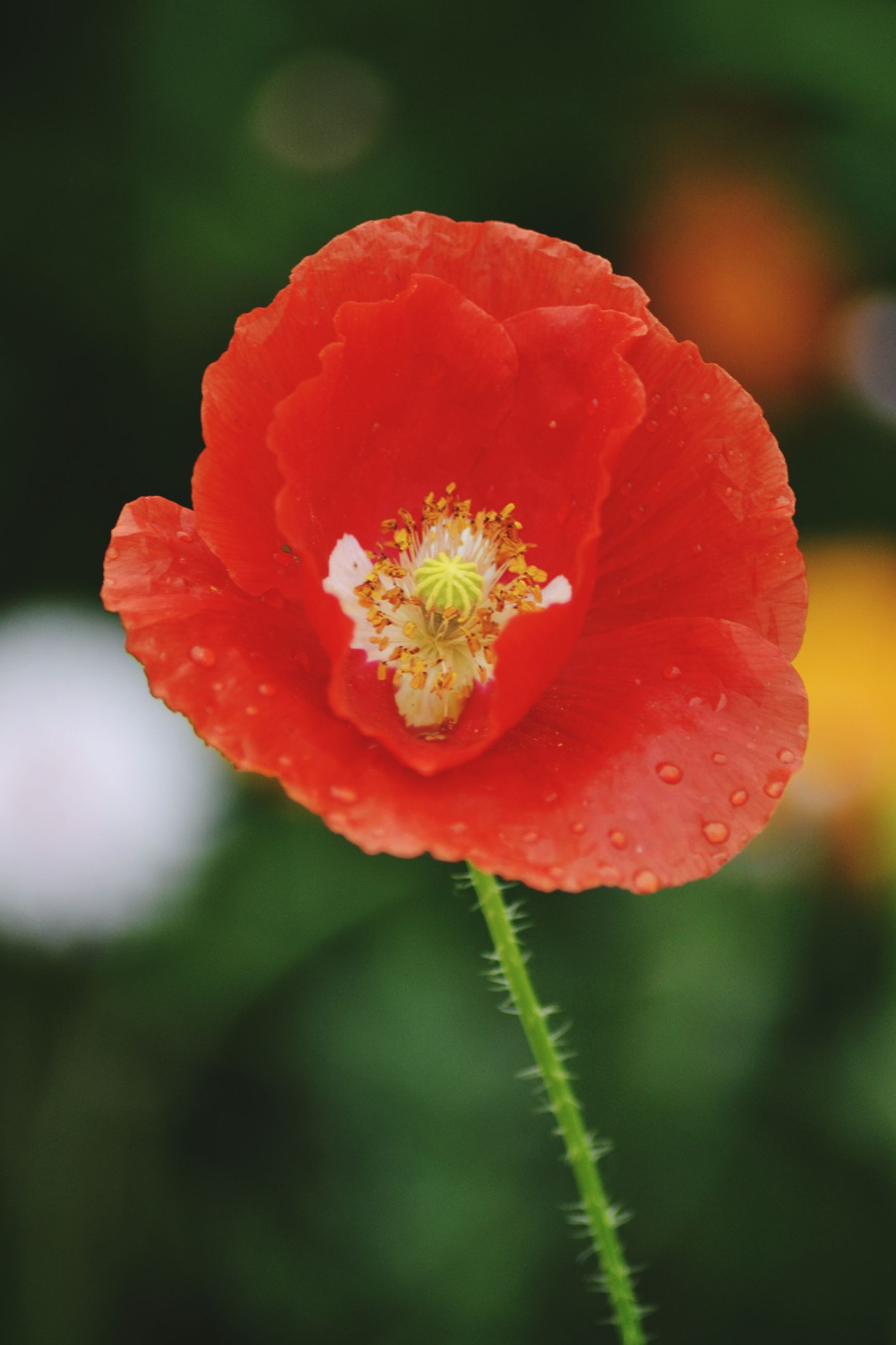 flower, freshness, petal, flower head, fragility, growth, close-up, beauty in nature, focus on foreground, single flower, red, nature, plant, blooming, in bloom, selective focus, stamen, pollen, blossom, bud