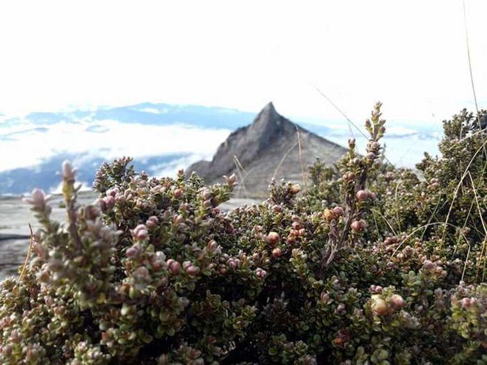Mountain Flower Single Tree Mounth Kinabalu Low Peak, Climbing A Mountain