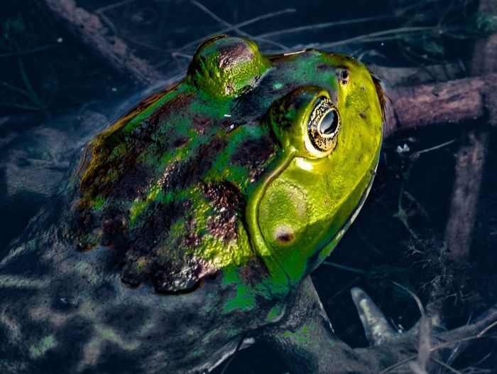 High Angle View Close-up No People One Animal Animals In The Wild Animal Themes Water Outdoors Day Nature Frog
