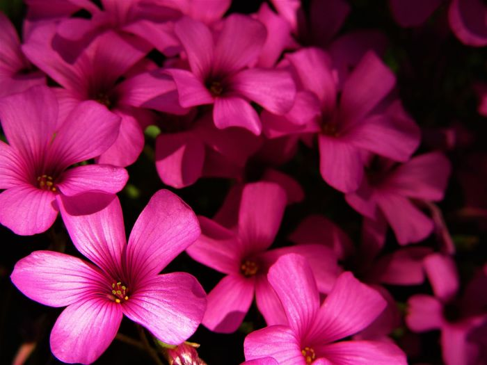 Nature Oxalis Oxalis Articulata Savigny Close-up Flower Flower Head Flowering Plant Nature No People Outdoors Pink Color Plant