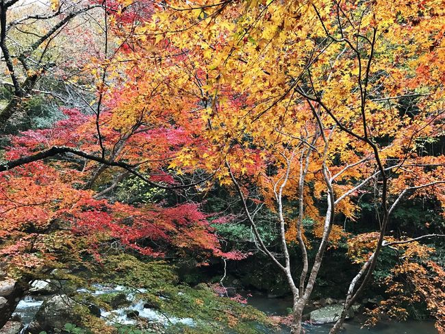 Momiji Autumn