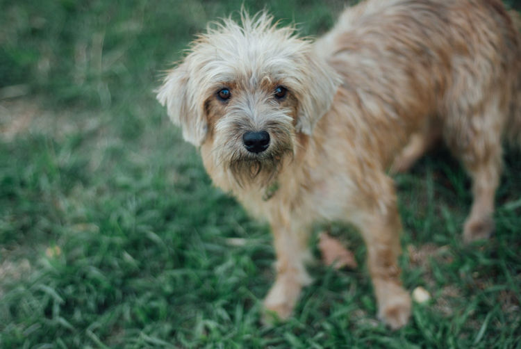 Domestic Mammal Pets One Animal Domestic Animals Animal Themes Dog Animal Canine Vertebrate Field Grass Looking At Camera Portrait Land Plant Standing No People Day Hair