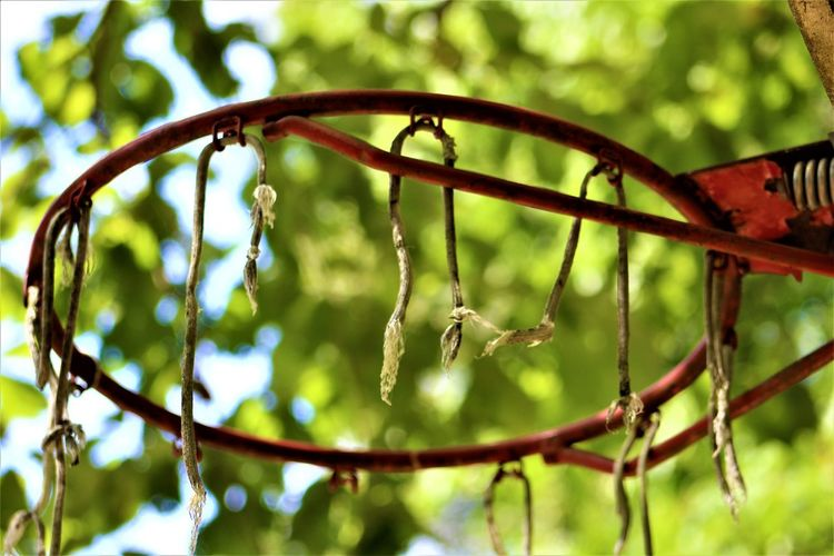 Basketball Hoop in Indiana Basketball Basketball Hoop Indiana Beauty In Nature Branch Close-up Day Focus On Foreground Freshness Green Color Growth Hanging Hoosier Nature No People Outdoors Sports Sports Photography Tree