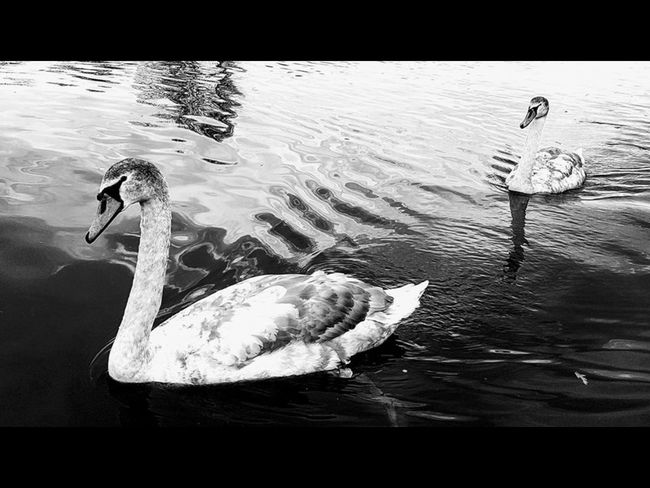 Swans on the river black and white