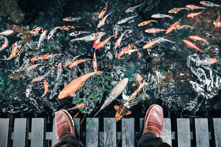 Koi Fish Marine School Of Fish Human Foot Nature Outdoors Lifestyles Animal Koi Carp Leisure Activity Group Of Animals Fish High Angle View Water Personal Perspective Pond Koi Pond Fish Pond Garden Private Garden Leather Shoes Peaceful Tranquility Relaxing Peace And Quiet