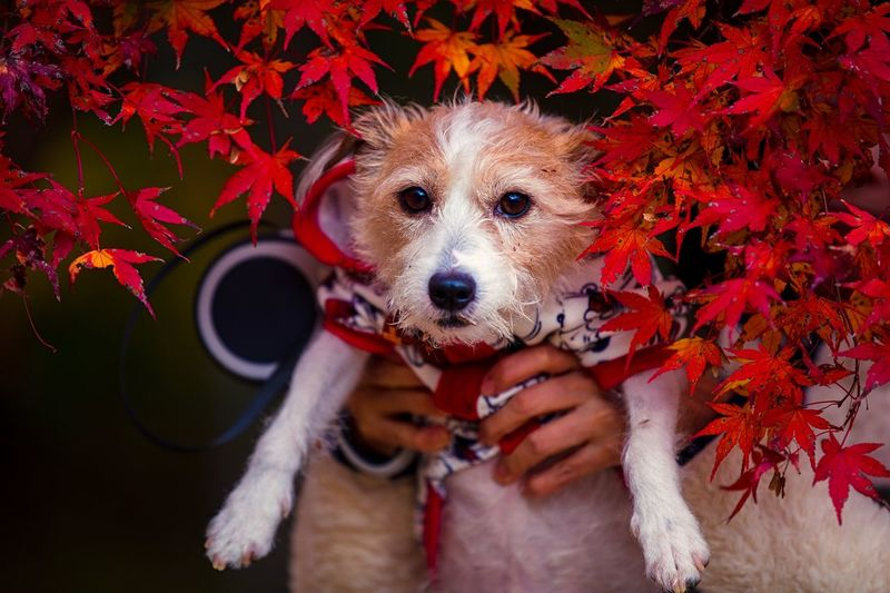 Bokeh Photography Bokeh Excursion Tranquility Color Portrait Color Image Red Change Growth Japanese Maple Dog Photography Dog Portrait Dog Plant Part Leaf Portrait Hand Autumn Looking At Camera Human Hand Holding Lifestyles Close-up Day Red Maple Leaf Change Leisure Activity Outdoors
