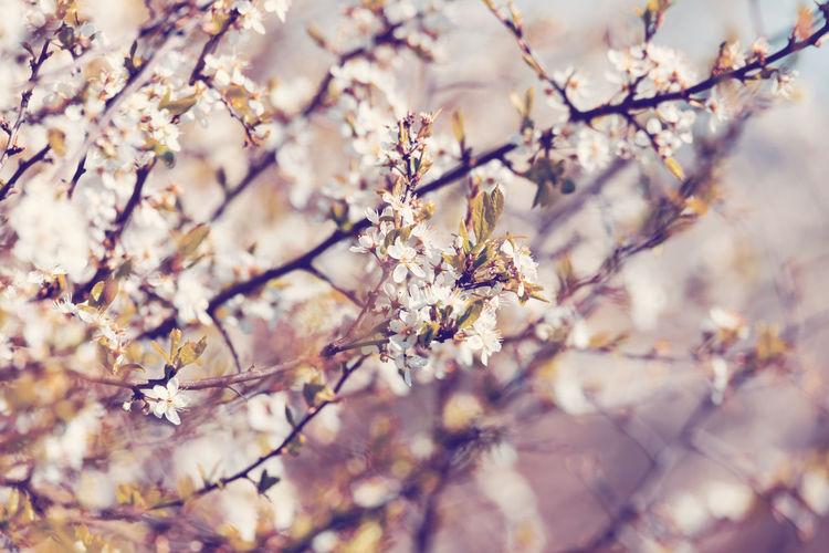 Close-up of cherry blossom on tree