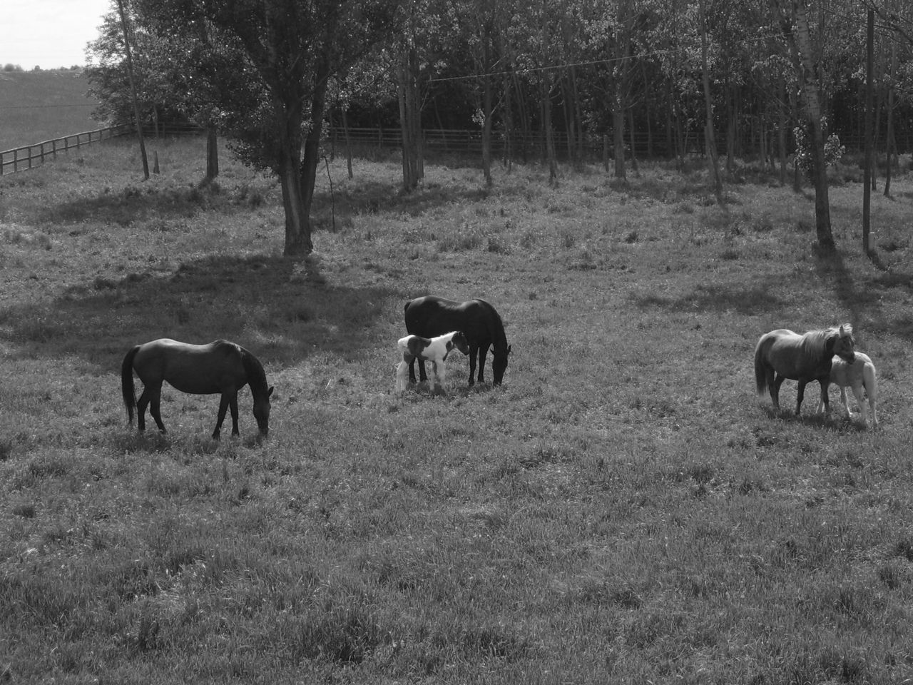 tree, animal themes, mammal, domestic animals, field, livestock, horse, grazing, nature, day, landscape, no people, outdoors, grass, tranquil scene, tranquility, full length, young animal, beauty in nature