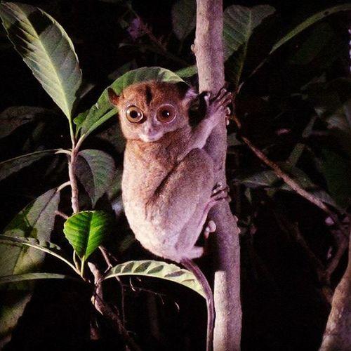 Tarsier Borneo Malaysia Travel Wildlifephotography Wildlife Rainforest Nature Cute Sabah Kinabatanganriver