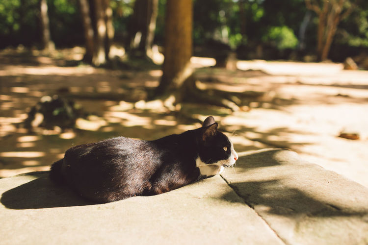 Siem Reap Cambodia Angkor Animal Themes Animal Mammal One Animal Vertebrate Sunlight Domestic Animals Domestic Nature Pets Relaxation Day No People Feline Cat Black Color Footpath Shadow Domestic Cat Focus On Foreground Outdoors