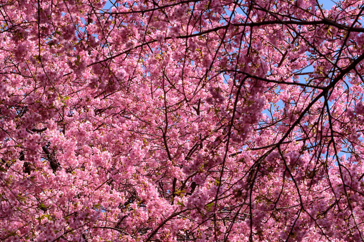 Pink Color Tree Plant Flower Flowering Plant Springtime Beauty In Nature Branch Fragility Blossom Cherry Blossom Growth Nature Low Angle View Vulnerability  Freshness Cherry Tree Day No People Outdoors Spring Tree Canopy  Kawazu-zakura