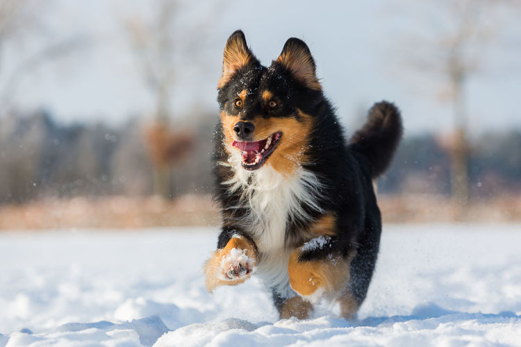 Australian Shepherd dog running in the snow A Action Animal Themes Cold Temperature Day Dog Domestic Animals Focus On Foreground German Shepherd Mammal Nature No People One Animal Outdoors Pets Running Around Running, Sky Snow Winter
