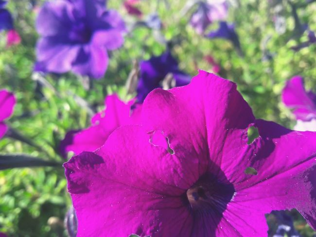 Flower Nature Beauty In Nature Fragility Petal Flower Head Freshness Purple Growth Plant Close-up Pink Color Drop No People Outdoors Springtime Day Petunia