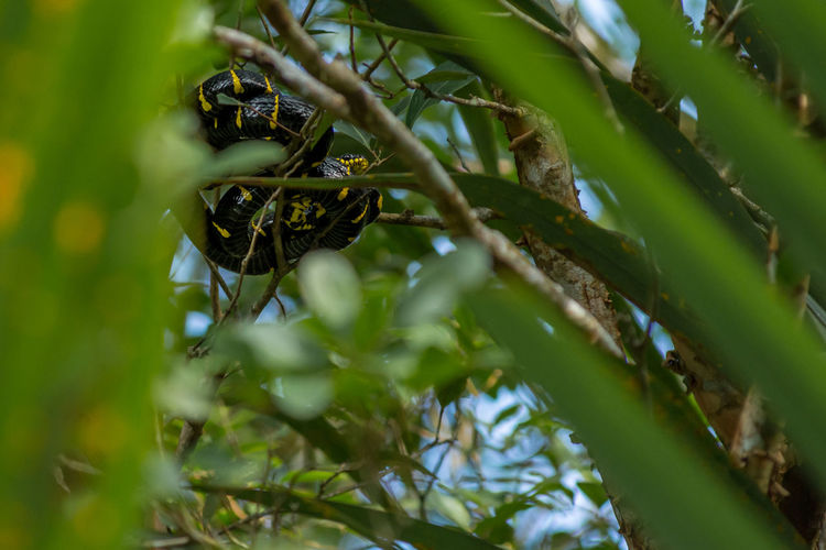 Boiga dendrophila, mangrove snake or gold-ringed cat snake curled up high up in a mangrove tree. Malaysia, Asia. Boiga Dendrophila Aggressive Alert Asleep Black Branch Climbing Coiled Colubrid Day Gold Gold-Ringed Cat Snake Leaves Lowlands Mangrove Snake Mangrove Snake Or Gold-ringed Cat Snake Mangroves Native Nocturnal Rainforest Ready Rear-fanged Scales Snake Specimens Sunny Swamp Tree Venomous Plant Growth Selective Focus Green Color Leaf Plant Part No People Nature Beauty In Nature Low Angle View Close-up Outdoors Tranquility Food And Drink Animals In The Wild Food Animal Wildlife Bamboo - Plant