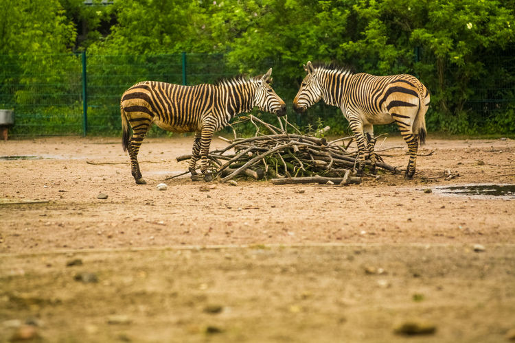 Animal Themes Animal Zebra Animal Wildlife Striped Group Of Animals Animals In The Wild Mammal Safari Vertebrate Plant Land No People Field Nature Selective Focus Two Animals Day Tree Herbivorous