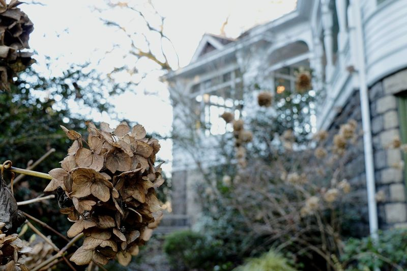 Close-up of dry hydrangea against house