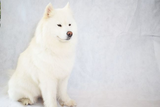 EyeEm Selects Dog Pets Animal Sled Dog White Color Animal Hair Portrait No People Samoyed Samojede Nordic Dog