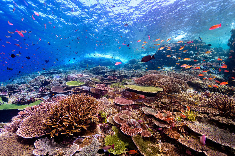indonesia Animal Animal Wildlife Animals In The Wild Underwater Water Sea Sea Life Animal Themes UnderSea Coral Marine Fish Vertebrate Group Of Animals Large Group Of Animals Invertebrate Nature Swimming No People School Of Fish Outdoors Ecosystem