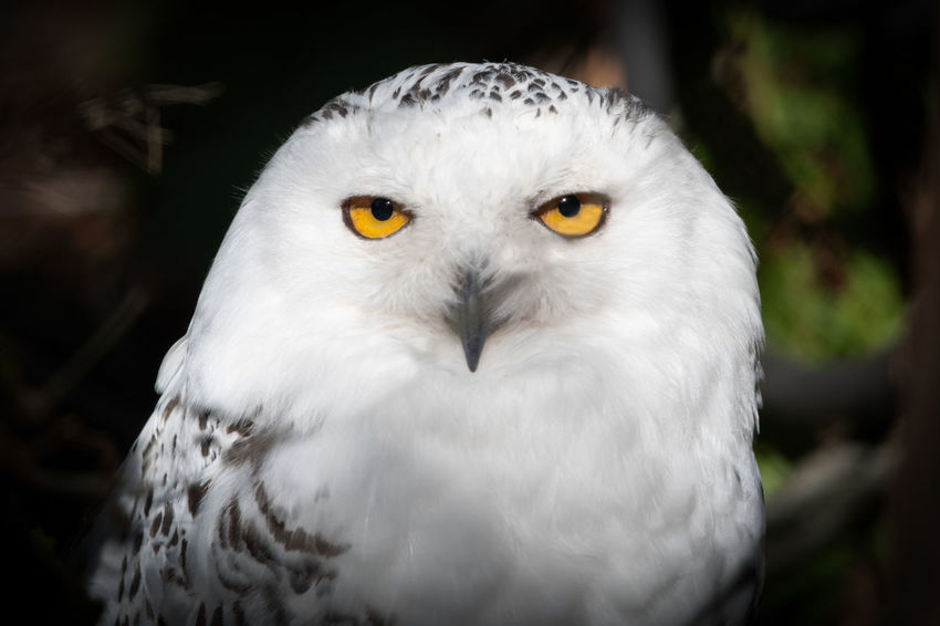 50+ Snowy Owl Pictures HD | Download Authentic Images on EyeEm