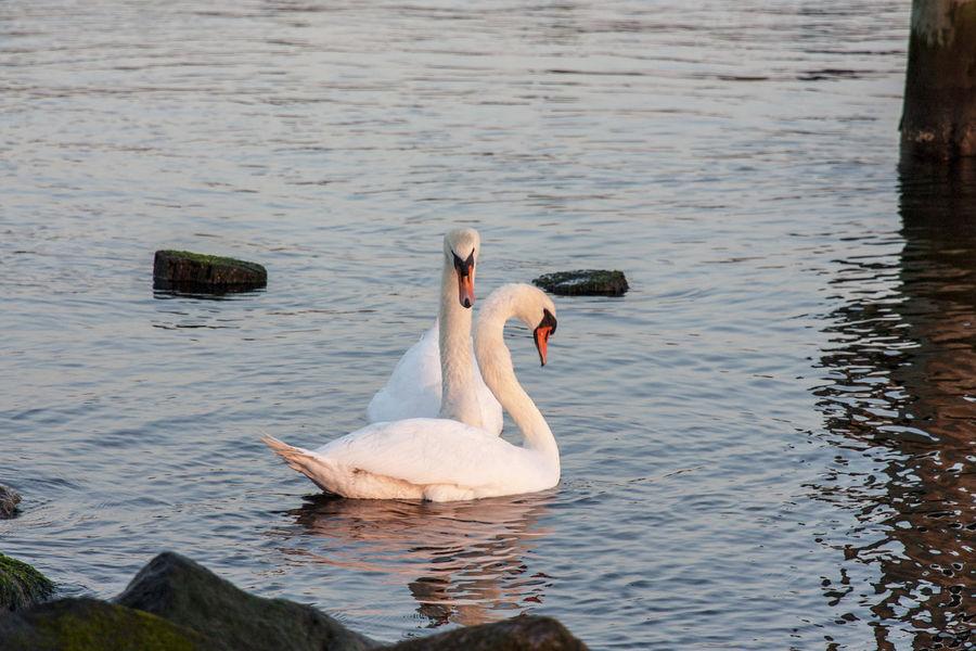 Die Schönheit Des Nordens Die Stadt Am Meer Finding The Right One Hansestadt Hansestadt Rostock Made For Each Other Marítim Norddeutschland Rostock Rostocker Ansichten Significant Other Swans