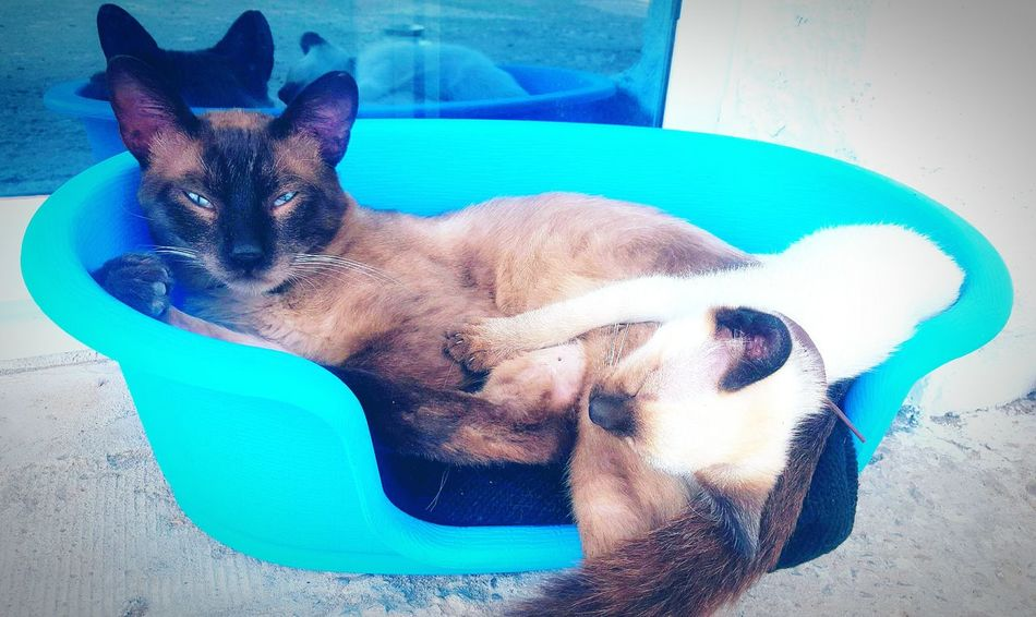 Domestic Animals Animal Animal Themes Puppy Blue No People Pets Cats Of EyeEm Looking At Camera Young Cats Cat Nature Cat Siamese Siamese Cat