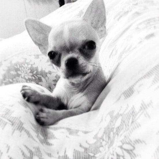 Like a boss.. Yesssiirrr! Chihuahua Babyelmo Applehead TeaCup igfusion iphone4 iphoneasia iphoneonly iphoneography dogs dogstagram dogoftheday dogoftheweek pets popular petstagram petoftheday picoftheday popularpage petoftheweek photooftheday webstagram igerscebu igerspinoy igersmanila kawaii cute