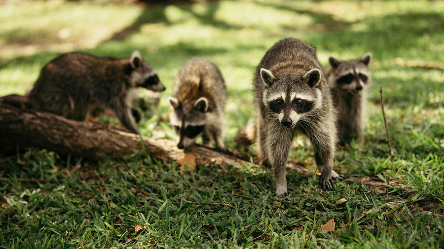 Close-Up Of Raccoons On Field