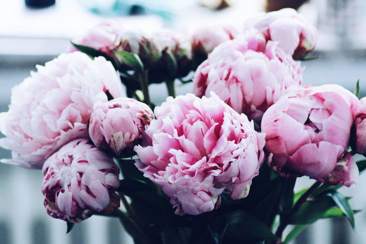 Peonies Flower Pink Color Close-up No People Peony  Day Flower Head Focus On Foreground Plant Freshness Nature Growth Fragility Outdoors Beauty In Nature