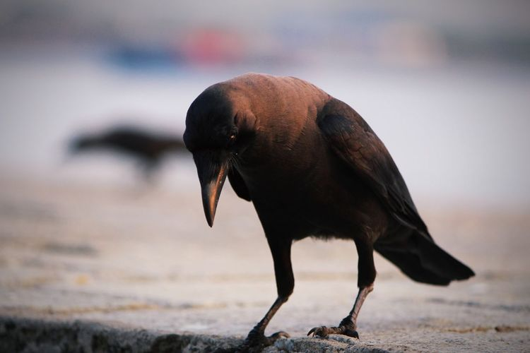 Close-up of a crow on beach