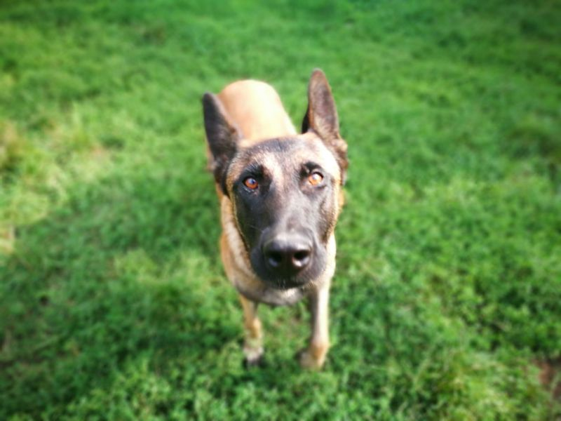 Belgian Malinois Animal Themes One Animal Domestic Animals Pets Dog Grass Looking At Camera Mammal Portrait Field Grassy Focus On Foreground Green Color Animal Head  Zoology Day Snout Green Animal No People One Animal Domestic Animals Pets Dog