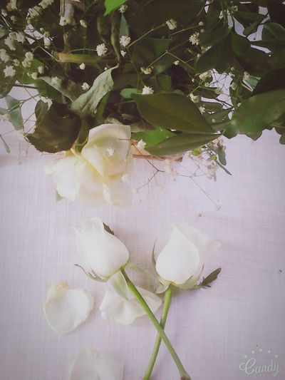Rose♥ White Flower Beautiful ♥ Taking Photos